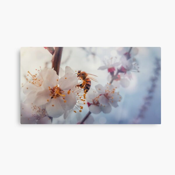 honey bee on apricot flowers Metal Print