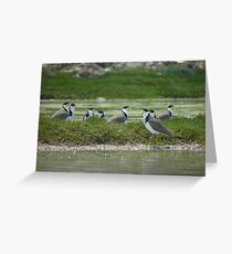 Masked Lapwings (Vanellus miles) - Coffin Bay, South Australia Greeting Card