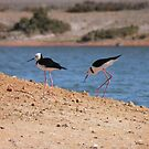 Pied Stilts (Himantopus leucocephalus) - Whyalla, South Australia by Dan Monceaux