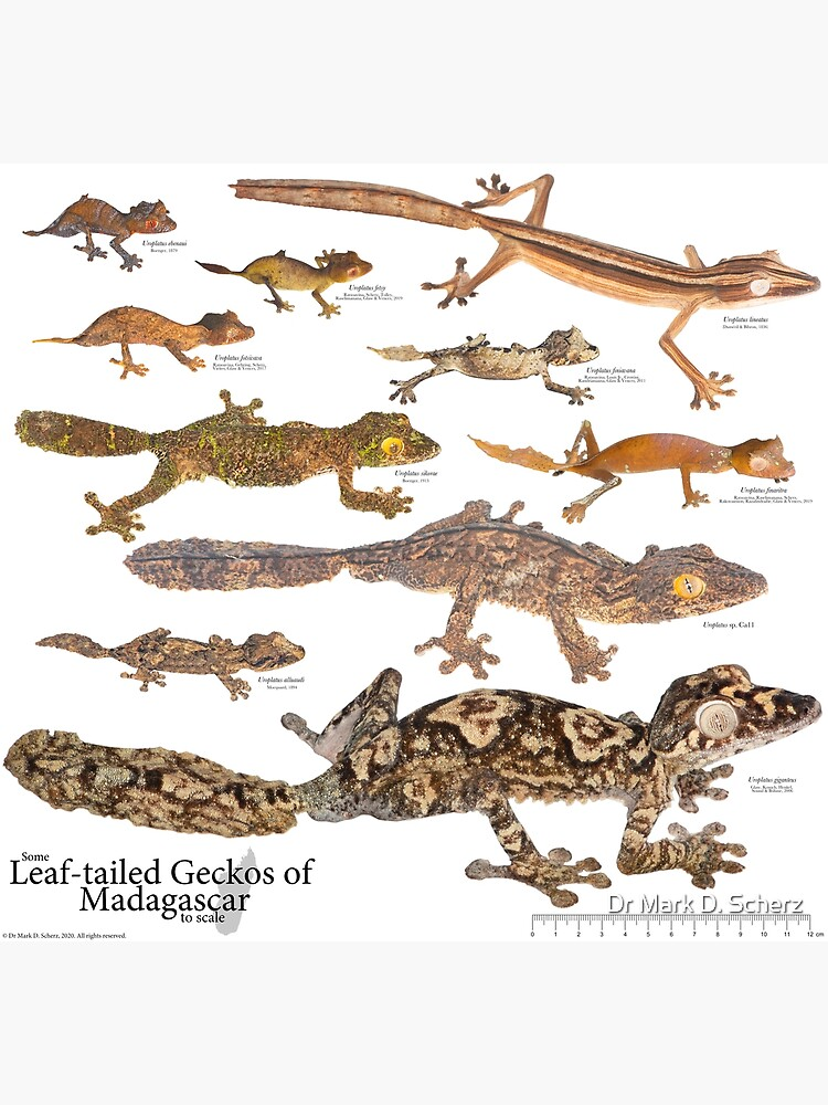 Some Leaf-Tailed Geckos of Madagascar to Scale, Version 1.0 by markscherz