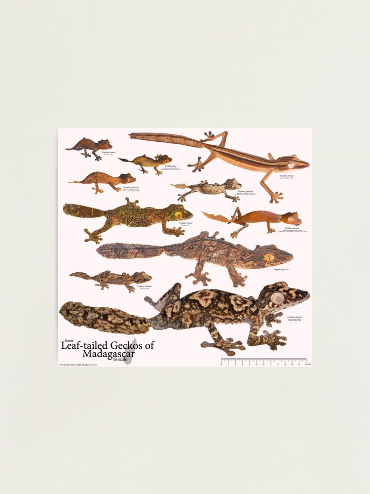 Alternate view of Some Leaf-Tailed Geckos of Madagascar to Scale, Version 1.0 Photographic Print