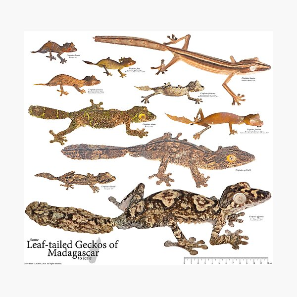 Some Leaf-Tailed Geckos of Madagascar to Scale, Version 1.0 Photographic Print