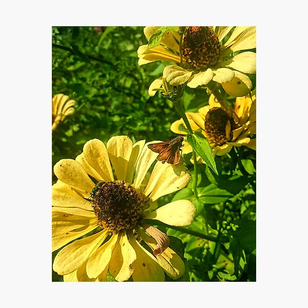 Brown-Eyed Susans Photographic Print