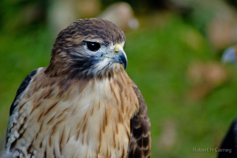 Red Shouldered Hawk by Robert H Carney