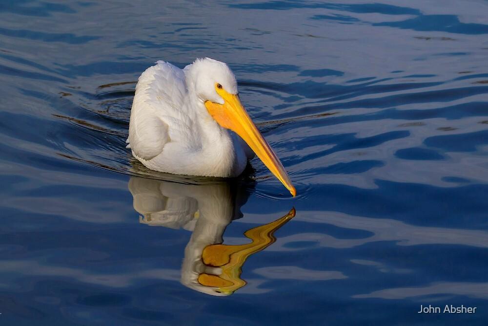 American White Pelican by John Absher