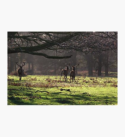 Red Deer in the Woods Photographic Print
