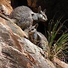 Black-flanked Rock-wallabies (Petrogale lateralis) - Mandu-Mandu Gorge, Western Australia by Dan Monceaux