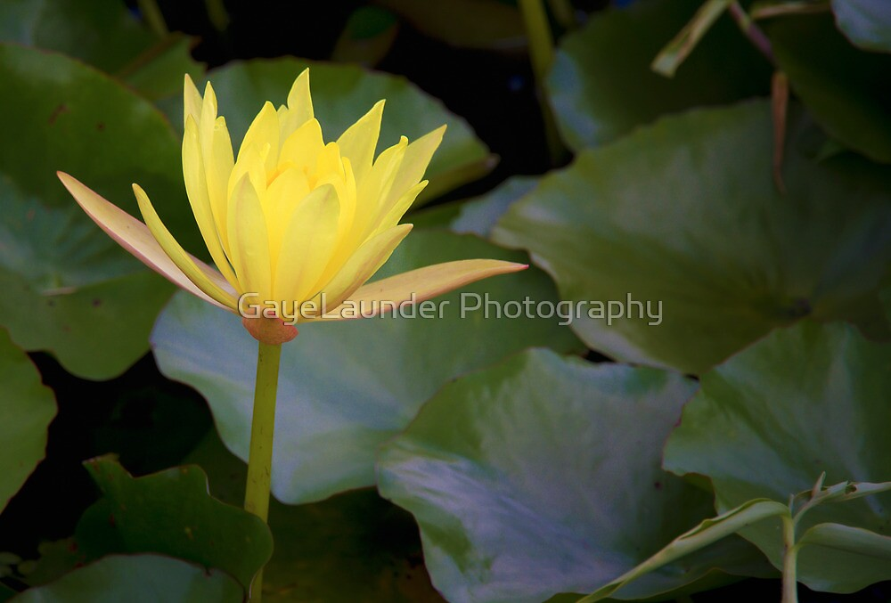 Lily Pad2 by GayeLaunder Photography