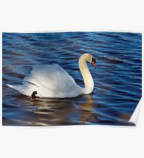 A SWAN  IN THE SWAN RIVER Poster