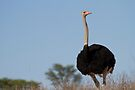 Ostrich by Will Hore-Lacy