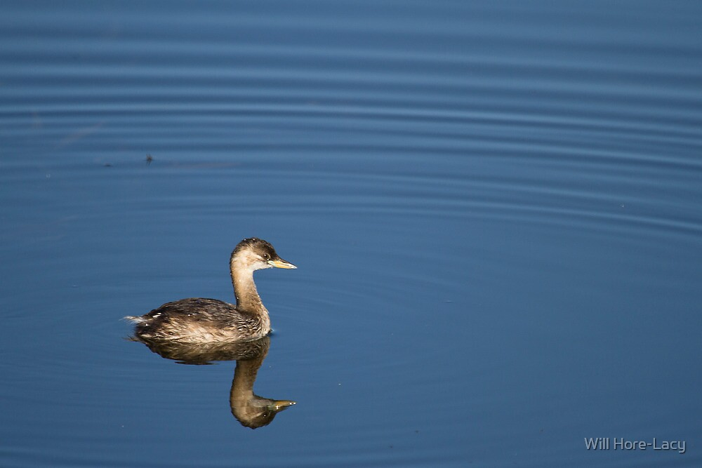 Little Grebe by Will Hore-Lacy