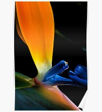 Magnificent Bird of Paradise Poster