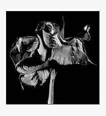 Dying rose Photographic Print