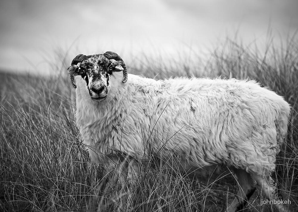 a sheep by johnbokeh