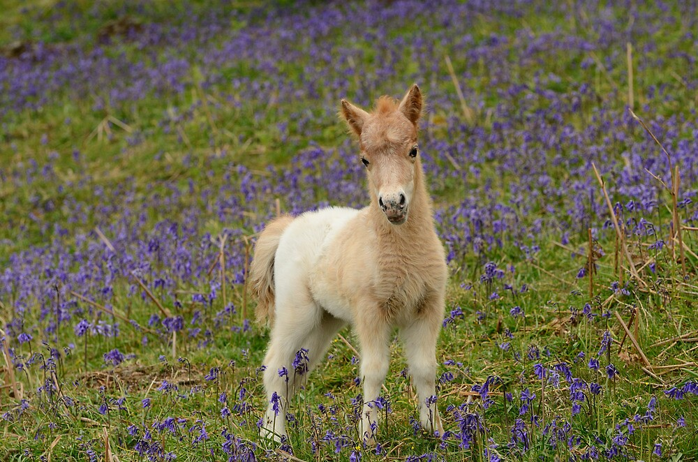 Bluebells and Foal by jonshort58