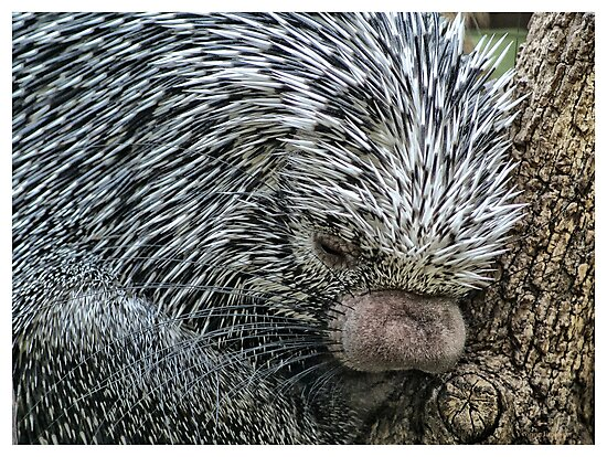Porcupine by Yvonne Emerson