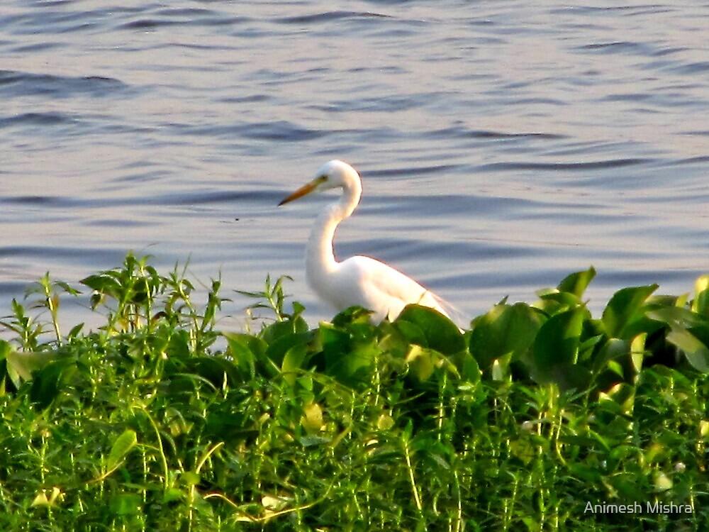 Swan Lake by Animesh Mishra