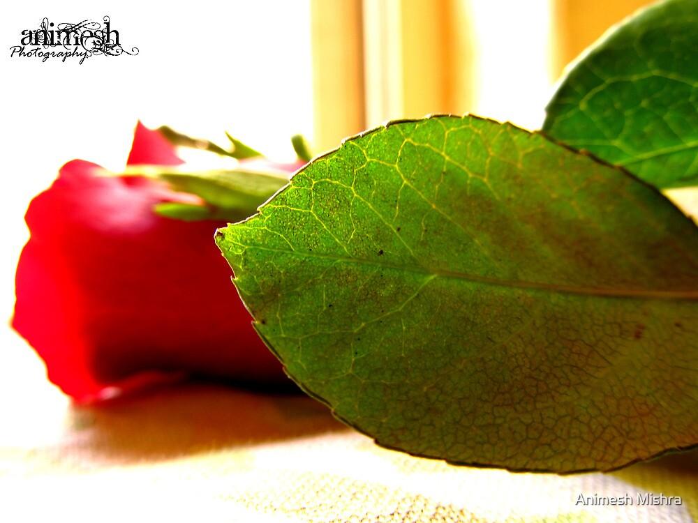 Rose by Animesh Mishra