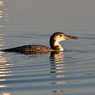 Sun Setting On A Loon by Kathy Baccari