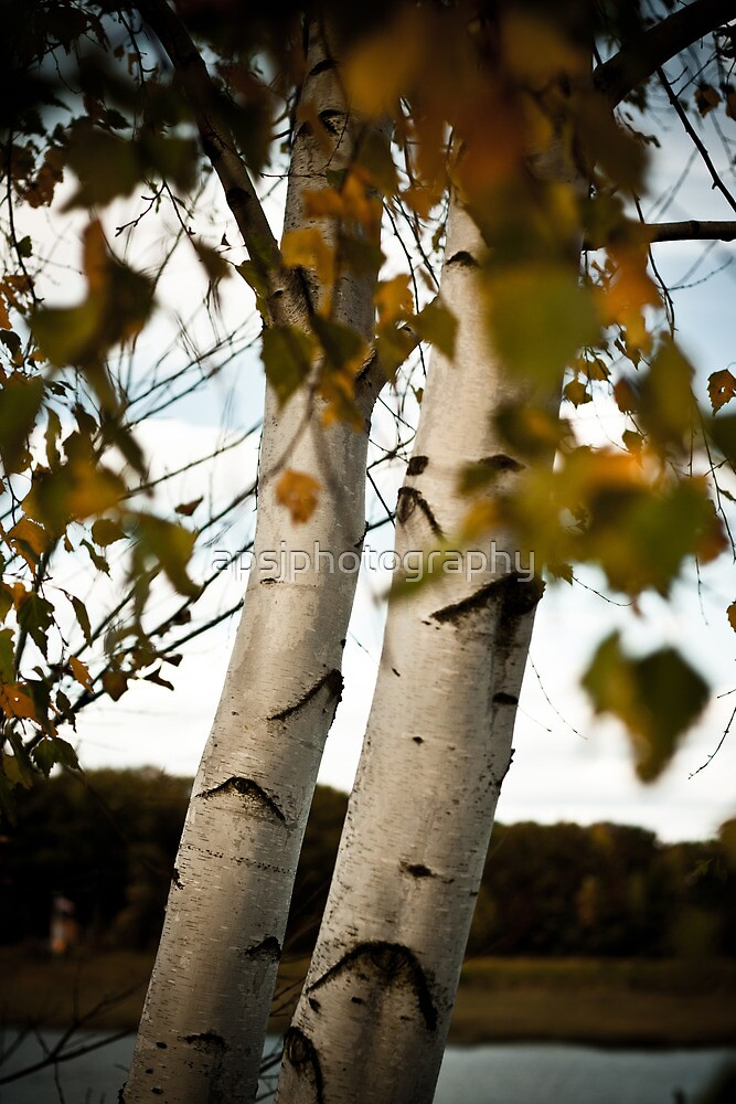 The Birch  by apsjphotography