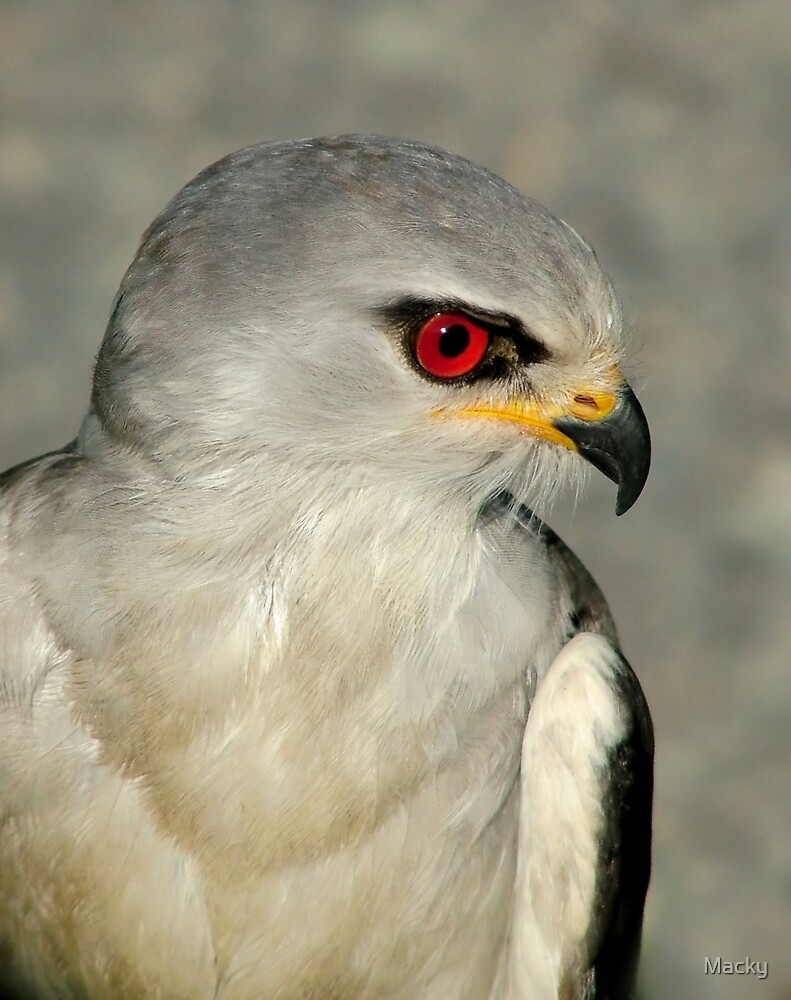 Quot Black Shouldered Kite Quot By Macky Redbubble