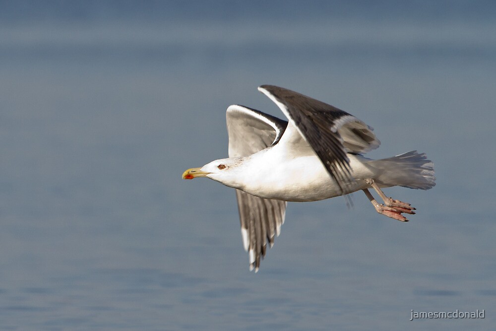 Predatory gull by jamesmcdonald