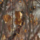 Fremont Cottonwood by David  Postgate