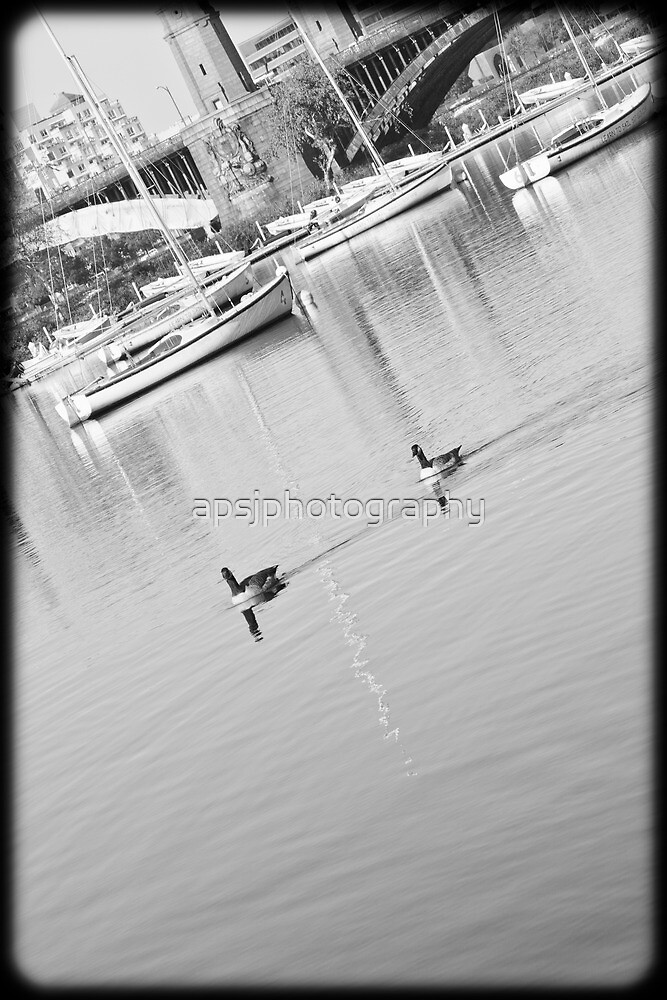 geese on the Charles by apsjphotography