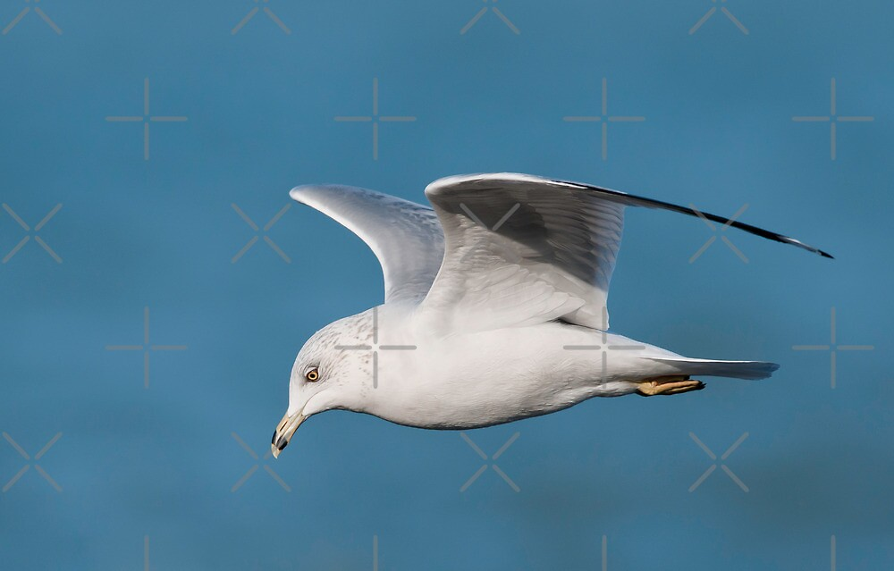 Ring-billed Gull in Flight by (Tallow) Dave  Van de Laar