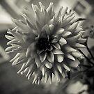 B&W Dahlia by TyTheTerrible