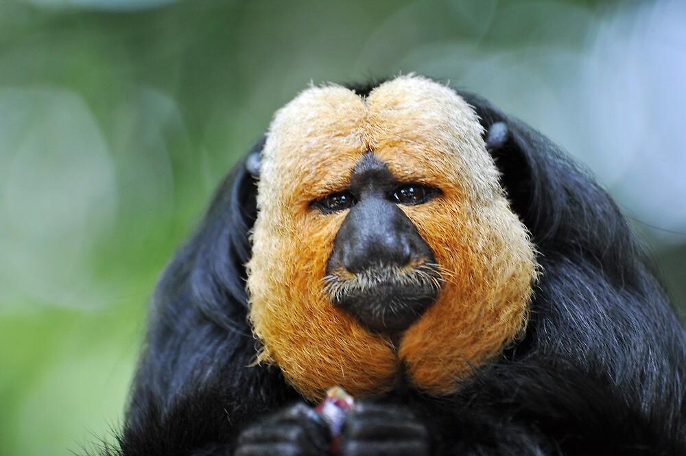 Saki Monkey - Singapore. by Ralph de Zilva