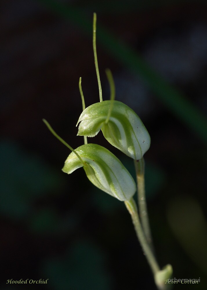 Hooded Orchid - Western Australia by pcbermagui