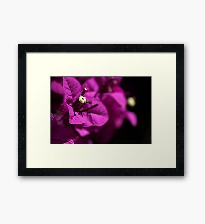 Hot Bougainvillea Framed Print