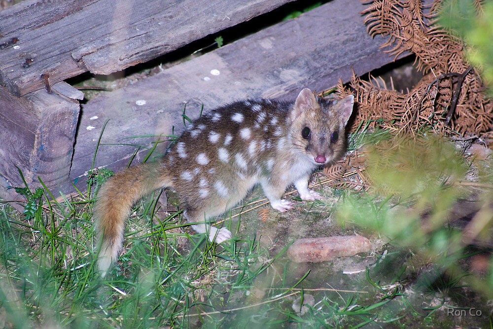 Quoll from 3 years ago by Ron Co