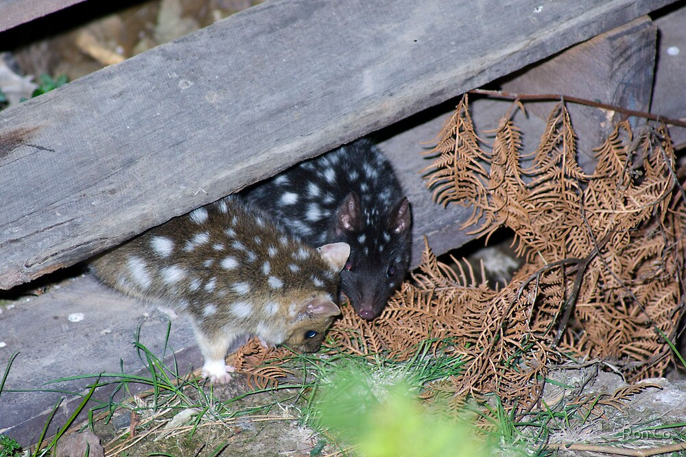 Quoll pair , unusual to have such variation in colour  I was told by Ron Co