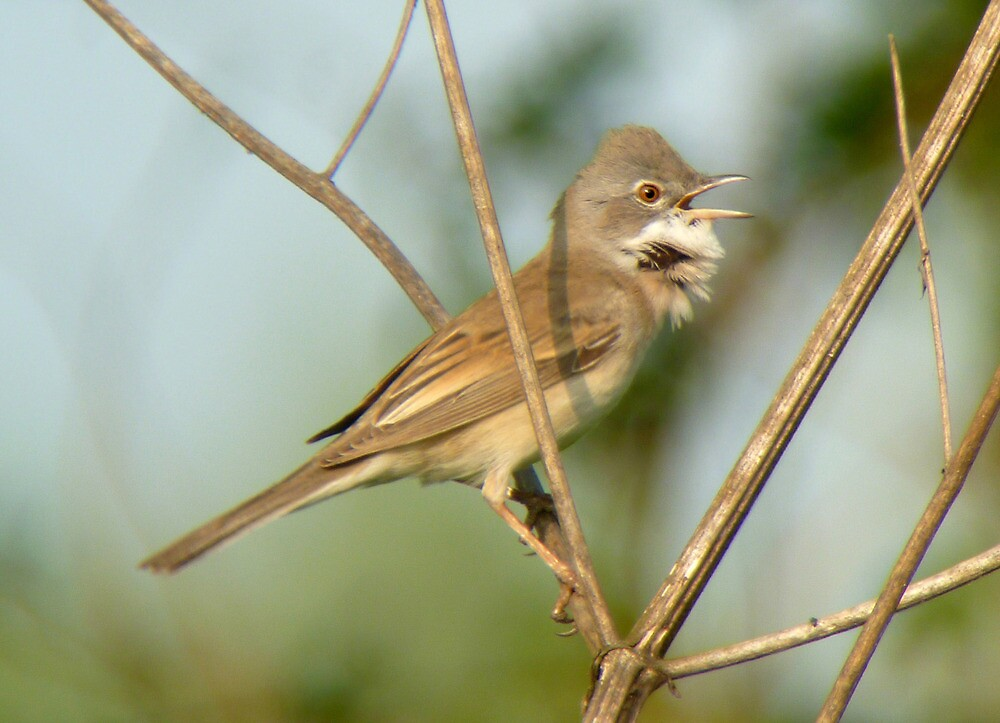Whitethroat in full song. by Anthony Lee