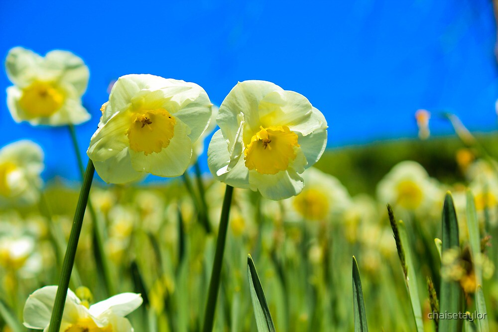 Spring Daffodils by chaisetaylor