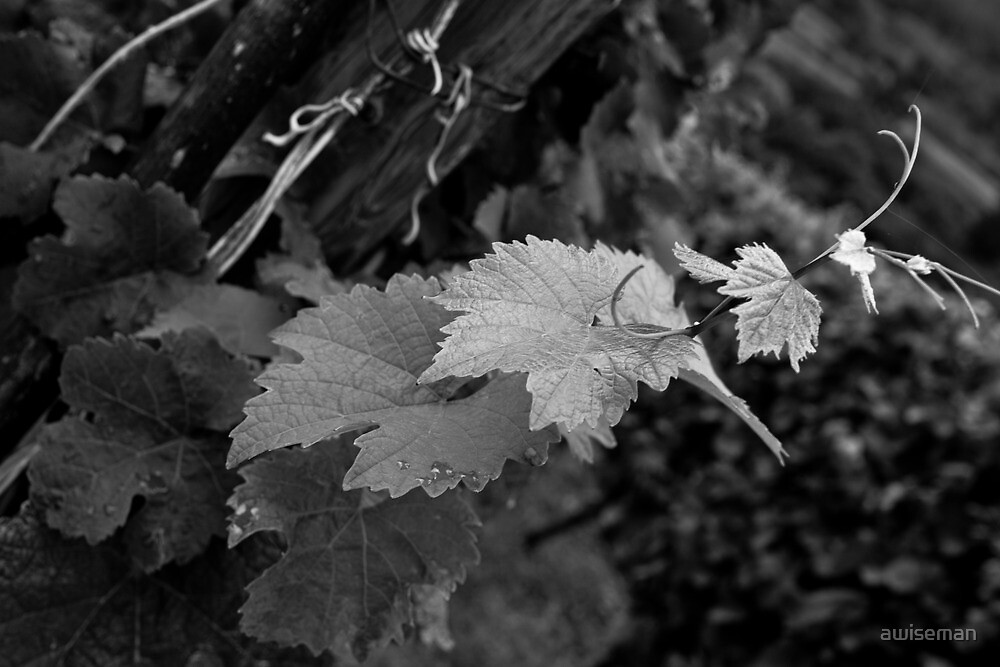 Vine of Alsace by awiseman