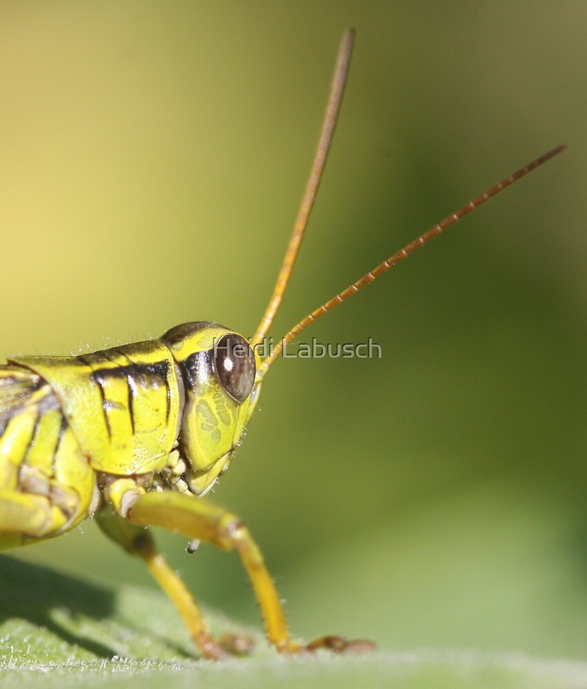Grasshopper by Heidi Labusch