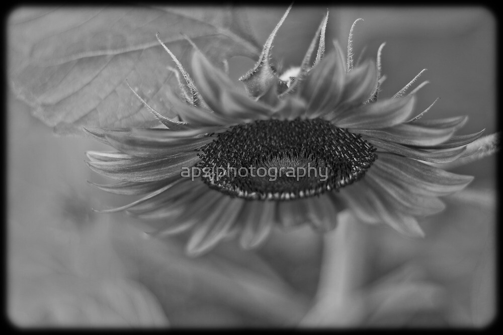 Black and white sunflower by apsjphotography