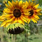Summer Sunflowers by jewelsofawe