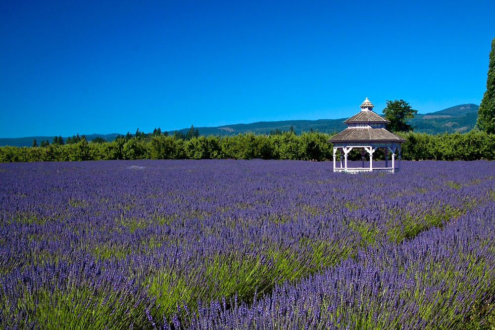 The Field Of Lavender Lavender by Marvin Mast