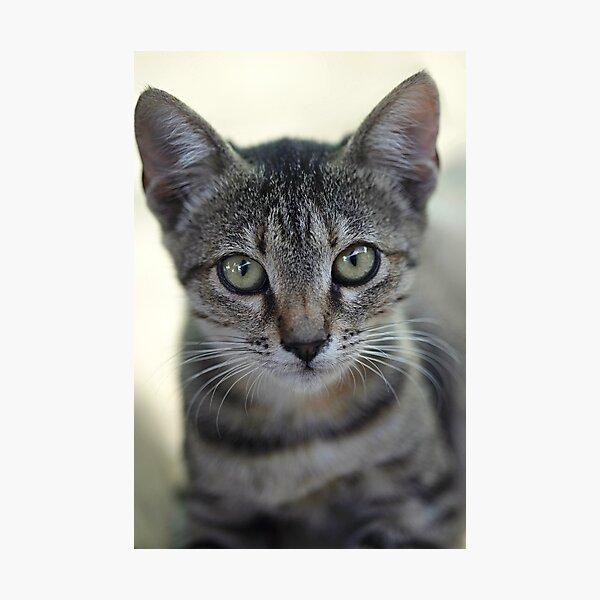 Portrait of grey cute kitten Photographic Print