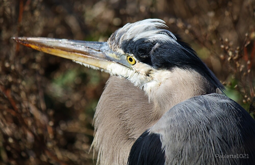 Close Up Great Blue Heron by Paulette1021