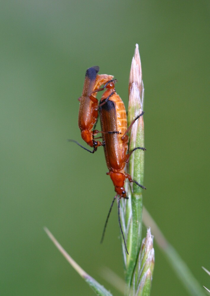 Blood sucker beetles mating. by Anthony Lee
