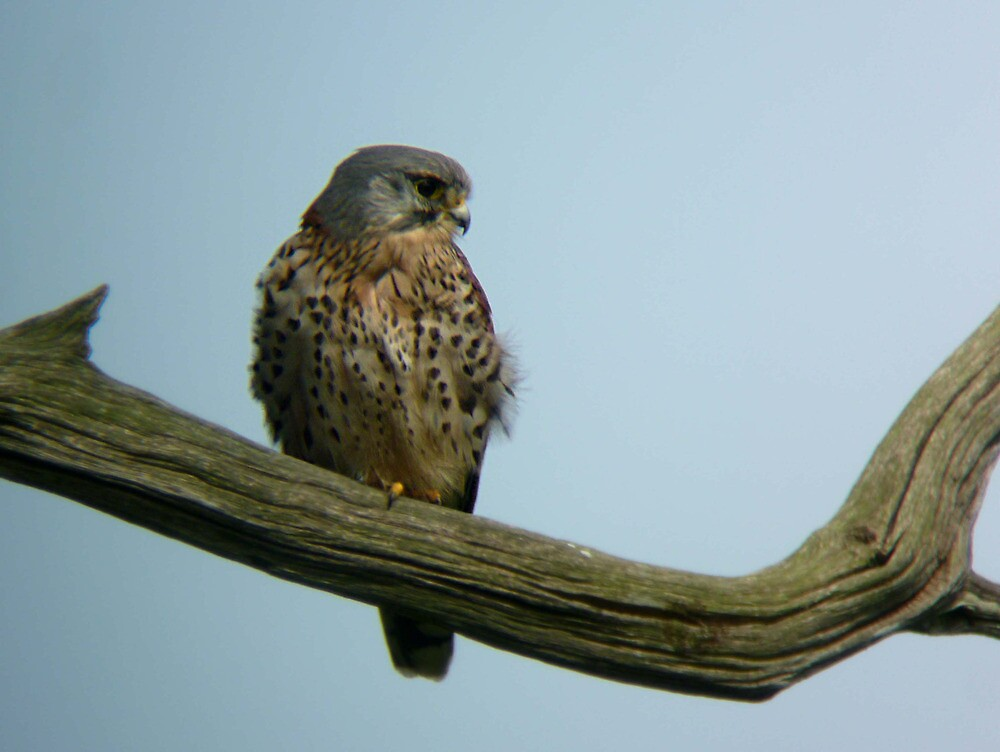 Young male kestrel. by Anthony Lee