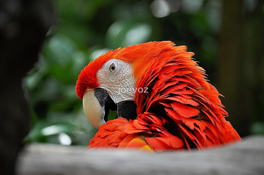 Parrot  by joevoz