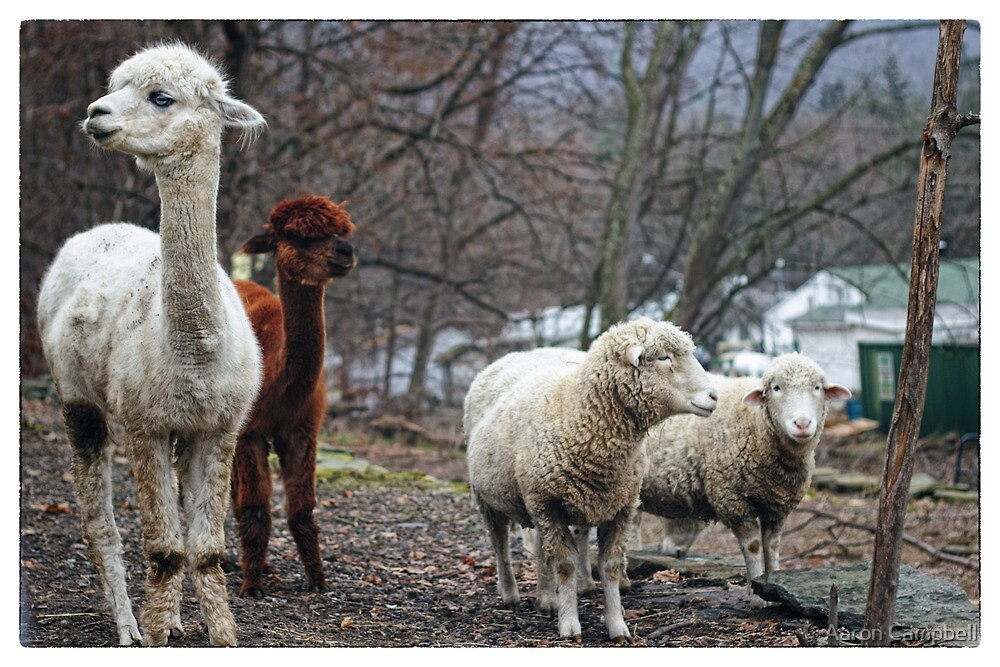 Alpacas and Sheep by Aaron Campbell