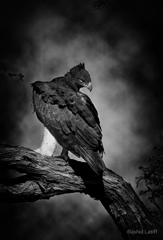 Savannah Raptor by Rashid Latiff
