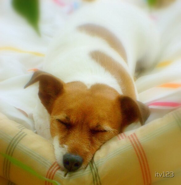 Jack Russell by itv123